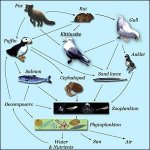 A coastal food web in Alaska based on primary production by phytoplankton